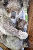 FEATURE - Die letzte Rettung: Blinde Koalamutter und ihr Baby werden von Passanten aufgegriffen und in einem Tierheim gepflegt