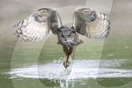 FEATURE - Ein Uhu fischt seine Beute aus einem See