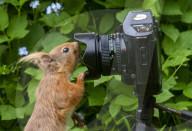 FEATURE - Wie komme ich da rein: Ein Eichhörnchen in Upper Coquetdale untersucht ganz genau eine Fotokamera