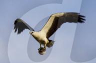 FEATURE - Kuriose Beute: Ein Seeadler hat einen Kugelfisch in seinen Klauen