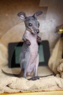 FEATURE - Biga Kruse aus Hessen zieht seit 15 jahren Känguru-Waisen gross