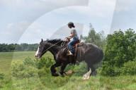 FEATURE -  Über zwei Meter gross: Shire Horse Phantom hat ein neues Heim im Gentle Giants Draft Horse Rescue Hof in Mount Airy gefunden