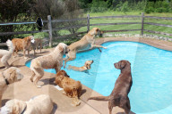 FEATURE - Who let the dogs out? 39 Hunde erfreuen sich im Pool des Lucky Puppy Hundehotels in Maybee