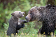 FEATURE - Bärenjunge beisst seine Mutter und streckt frech die Zunge heraus
