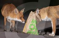 FEATURE - Ein Fuchs steckt seinen Kopf in eine McDonald's-Tüte