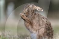 FEATURE - Dieser Hase scheint zu beten