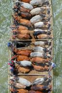 FEATURE - Rindertransport per Boot über fast 200 Meilen zu einem lokalen Markt in Bangladesch