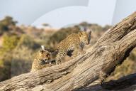 FEATURE -  Zwei Leopardenjungen spielen, während ihre Mutter auf die Jagd geht