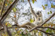 FEATURE - Relaxt: Ein Lemuren-Affe chillt auf einem Baum im Menabe Antimena Nationalpark auf Madagaskar