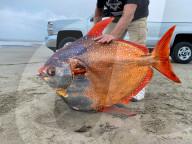 FEATURE -  Kein Anglerlatein: Ein ausgewachsener Gotteslachs wurde am Strand von Sunset Beach, Oregon angespült