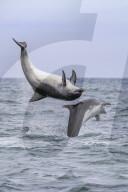 FEATURE - Springfreudige Delphine vor der Küste von Wales