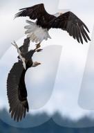 FEATURE - Weisskopfseeadler verhaken ihre Krallen, während sie in der Luft kämpfen