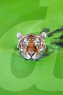 FEATURE - Tiger schwimmt in grünem Seegras um sich abzukühlen.