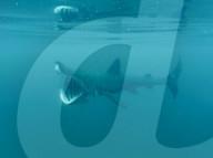 FEATURE - Grosses Maul: Unterwasseraufnahmen von einem Walhai vor den Äusseren Hebriden