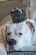 FEATURE - Küken Crossbreak und Bulldogge Bullseye aus Bolsover sind die besten Freunde