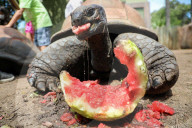 FEATURE - Etwas saftiges in der Hitze: 100-jährige Schildkröte verzehrt eine Wassermelone