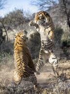 FEATURE - Zwei Tiger kämpfen auf ihren Hinterbeinen