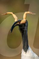 FEATURE - Ein Vogel sieht aus, als seien ihm Hörner gewachsen, als er einen Frosch verschluckt.