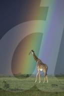 FEATURE - Giraffe spaziert unter einem leuchtenden Regenbogen in der Masai Mara, Kenia