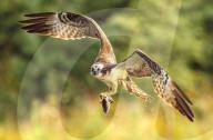FEATURE - Auf der Jagd in den Highlands: Ein Fischadler fängt eine Forelle nahe Aviemore