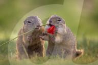 FEATURE - Erdhörnchen fressen Mohnblume