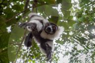 FEATURE -  Ein Lemur im Palmarium Reserve auf Madagaskar versucht einem Fotografen sein Arbeitsgerät zu entwenden