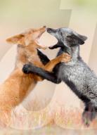 FEATURE -  Zwei junge Füchse rangeln auf einem Feld - ein schwarzer und ein oranger