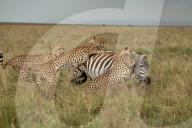 FEATURE - Chancenlos: 4 Geparde bringen ein Zebra zu Fall