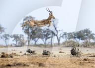 FEATURE - Ein Impala springt hoch in die Luft, um zu zeigen, dass es kampffähig ist