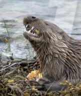 FEATURE - Ein hungriger Otter setzt seine kräftigen Zähne ein, um eine Krabbe zu knacken
