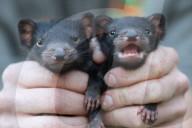 FEATURE - Zwillinge von Tasmanischen Teufeln in australischem Zoo geboren