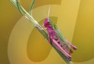 FEATURE - Selten gesehen: Pink-Grüne Grashüpfer in einem Feld im britischen Flamborough