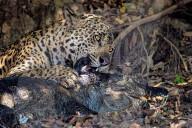 FEATURE - Jaguar verschlingt einen Kaiman, den er im brasilianischen Pantanal gejagt und getötet hat