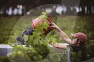 NEWS - Beginn der Weinlese in Calvi auf Korsika