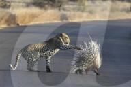 FEATURE - Aua! Ein Leopard versucht ein Stachelschwein zu packen im Krüger-Nationalpark, Südafrika