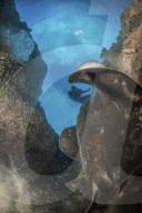 FEATURE -  Ein riesiger Stachelrochen sieht aus, als ob er einen Taucher verschluckt
