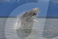 FEATURE - Ein Buckelwal-Kalb springt in einem atemberaubenden Schauspiel aus dem Meer