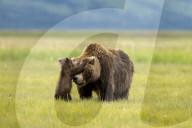 FEATURE - Bärenjunges spielt Guckguck mit Bärenmutter