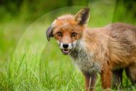 FEATURE - Ein niedliches Fuchsjunges hat ein hängendes Ohr als bleibendes Merkmal