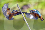 FEATURE - Zwei Eisvögel kämpfen um ihr Revier in der Luft
