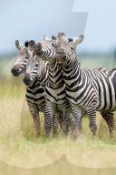 FEATURE - Eine Gruppe von Zebras kichert wie Kinder in einer Reihe