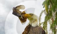 FEATURE - Ein mutiger Blauhäher gibt einem Weisskopfseeadler mit einem frechen Flügelschlag einen Klaps