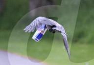 FEATURE -  Verleiht Flügel: Eine Krähe trägt eine Red Bull Getränkedose davon
