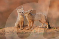 FEATURE - Zwei Fuchs-Welpen scheinen sich zu küssen