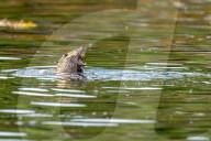 FEATURE -  Es muss nicht immer Kaviar sein: Ein Otter verspeist eine Krabbe in den Gewässern von Loch Maddy