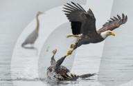 FEATURE - Ein Weisskopfseeadler zerrt seinen Gegner durch das Wasser beim Revierkampf