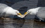 FEATURE - Zwei Möwen streiten um einen Fisch
