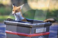 FEATURE - Ein neugieriger, junger Fuchs klettert in eine Mülltonne und wühlt im Abfall in London