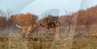 FEATURE -  Gepard stürzt sich auf Gnu im Pilanesberg-Naturreservat, Südafrika