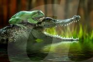 FEATURE - Frosch reitet auf einem Krokodil